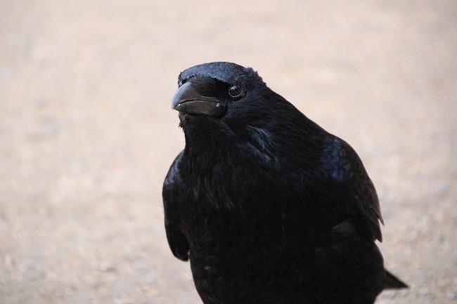 raven-2136081_960_720