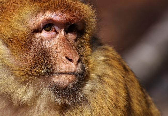 barbary-ape-2355400_960_720