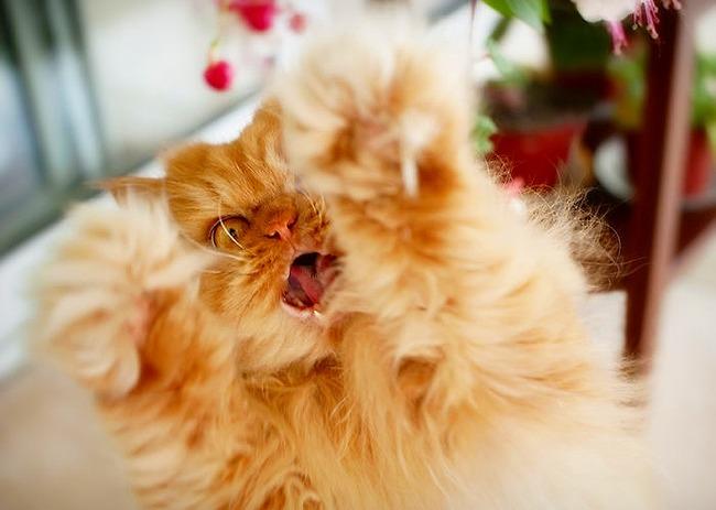 a2014-10-6garfi-evil-grumpy-persian-cat-1__700