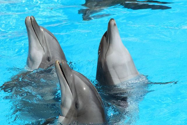 dolphin-3504085_640