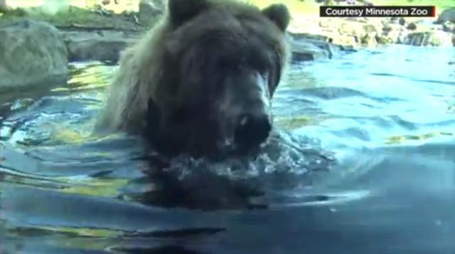 thumbnail-minnesota-zoo-bear