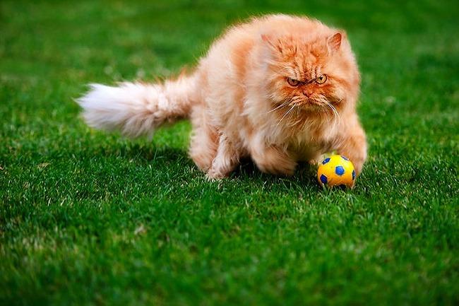 a2014-10-6garfi-evil-grumpy-persian-cat-30__700