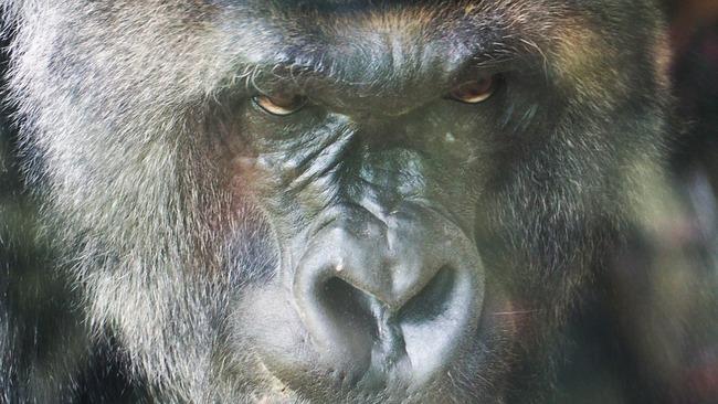 gorilla-1421910_960_720 (1)