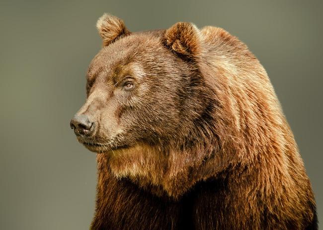 the-bear-2257902_960_720