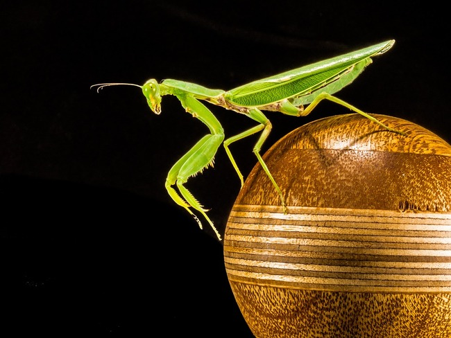 praying-mantis-220991_960_720