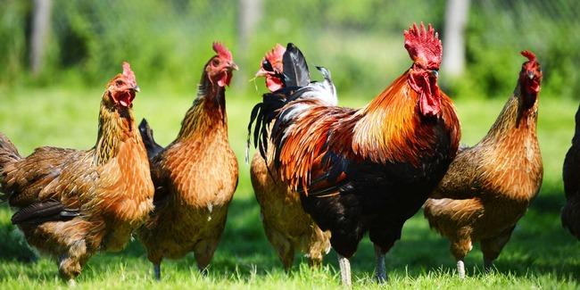 chickens-web