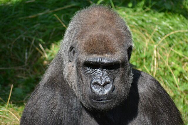silverback-gorilla-271002_640