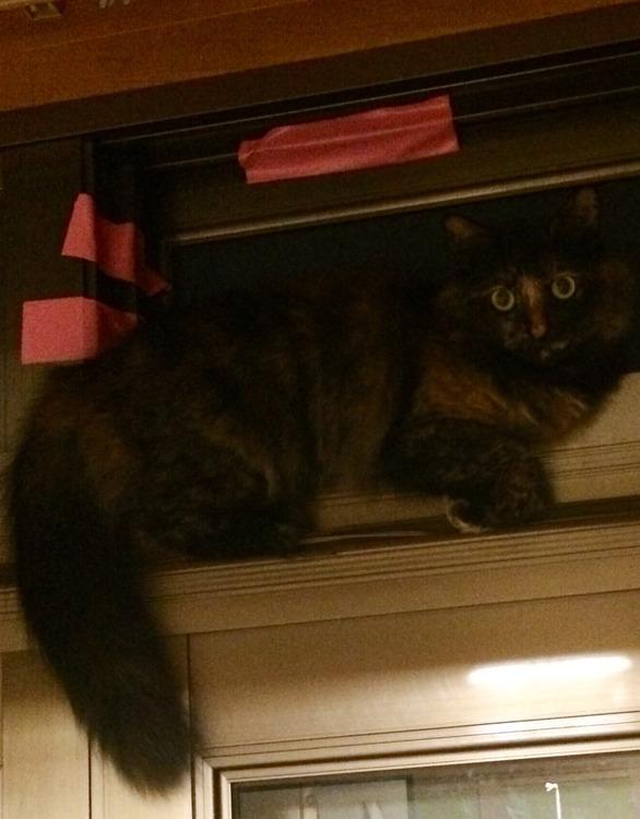 うちの猫がタヌキではないかと疑われている