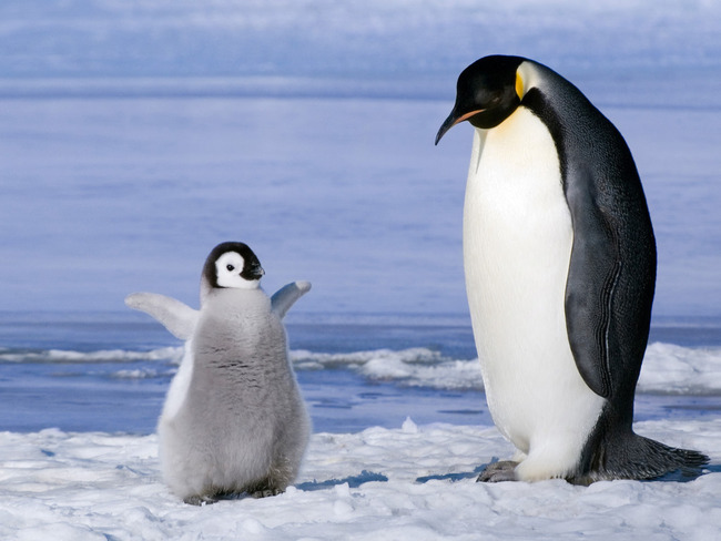 Animals-Birds-Penguin-and-chick-030942-