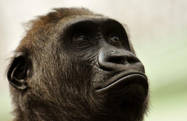 gorilla-3320488_960_720