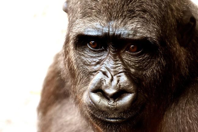 gorilla-2318998_960_720
