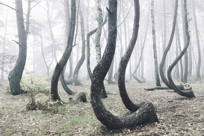 crooked-forest-krzywy-las-kilian-schonberger-poland-1