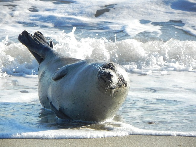 harbor-seal-1757161_960_720