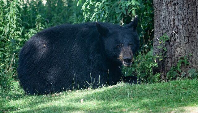 north-american-black-bear-4363632_640