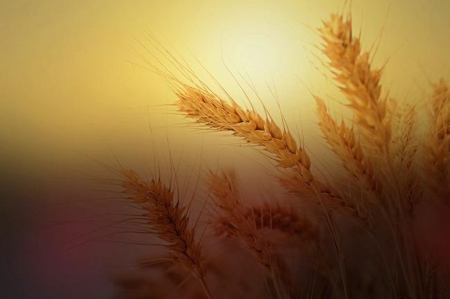 wheat-2713927_960_720