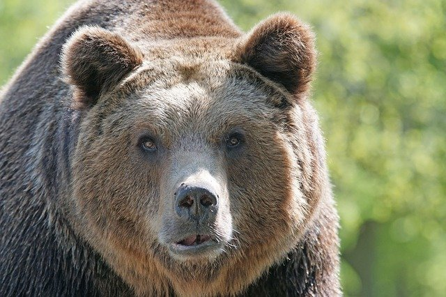 brown-bear-858720_640