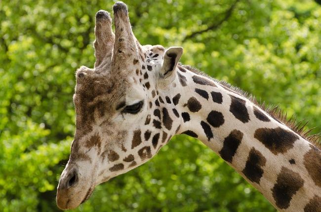 giraffe-165212_960_720