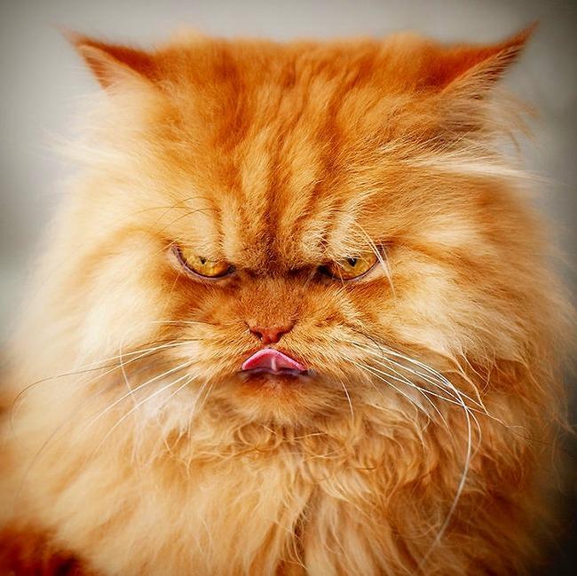 a2014-10-6garfi-evil-grumpy-persian-cat-10__700