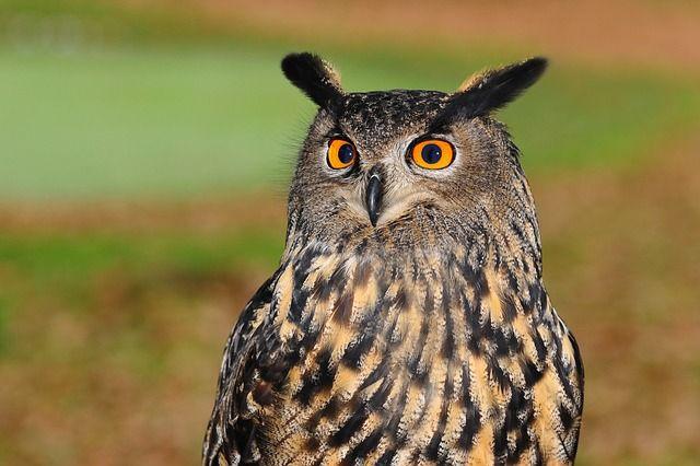european-eagle-owl-2010346_640