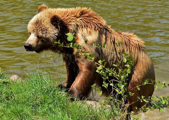 european-brown-bear-3365628_640