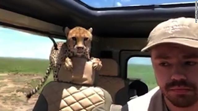 cheetah-jumps-into-car-on-safari-story-top