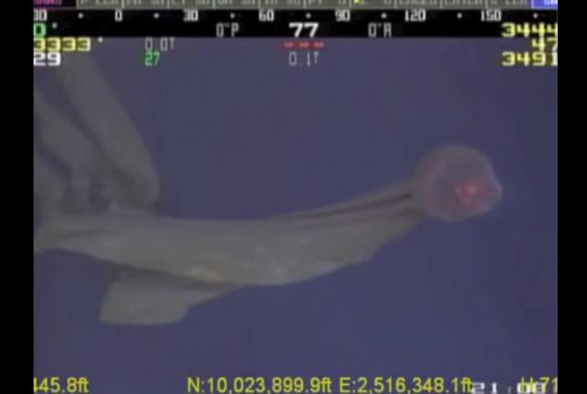 Rarely-seen-deep-sea-jellyfish-recorded-in-Gulf-of-Mexico