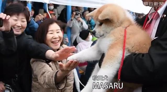 上品な目の赤毛「美人」秋田犬