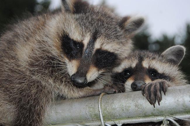 raccoons-1619278_960_720