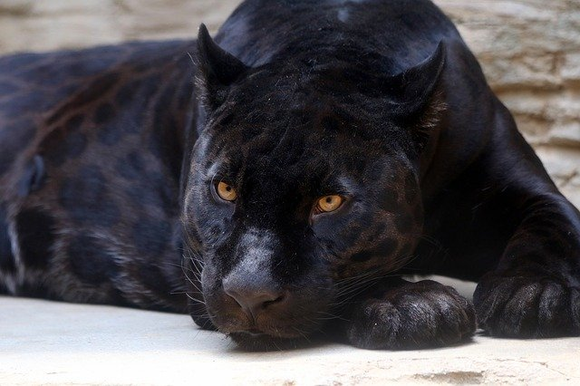 black-panther-3466399_640