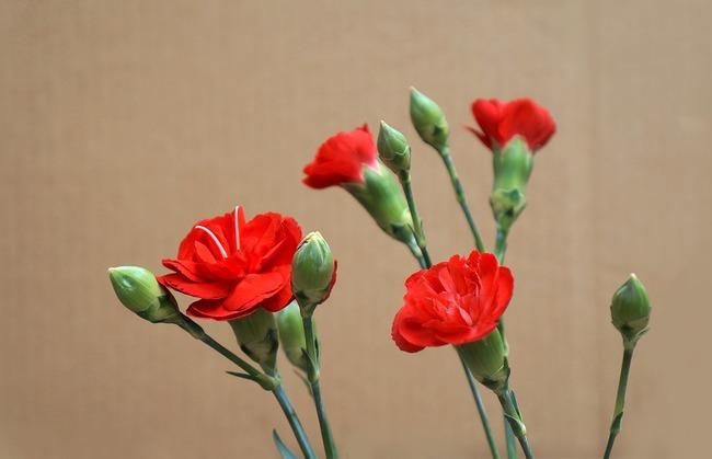 carnations-3200029_960_720