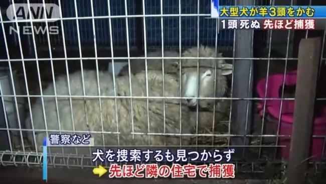 羊をかみ殺した大型犬を隣の住宅で捕獲|テレ朝news