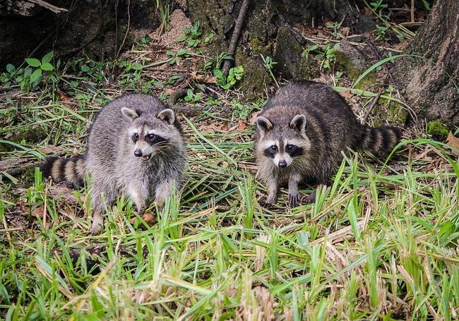 raccoons-439883_960_720