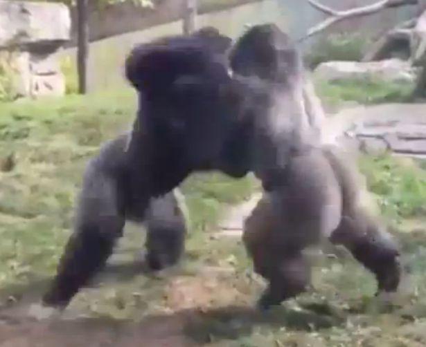 gorilla-fight-3