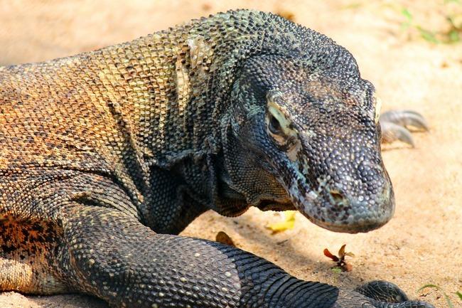 comodo-dragon-250668_960_720