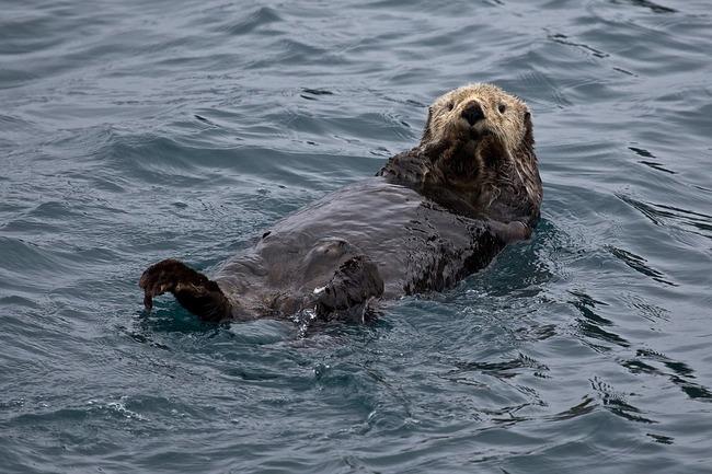 sea-otter-1405976_960_720
