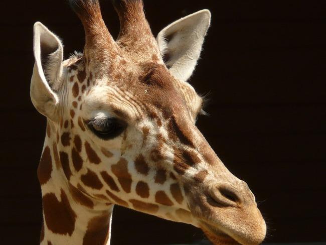 reticulated-giraffe-7365_960_720