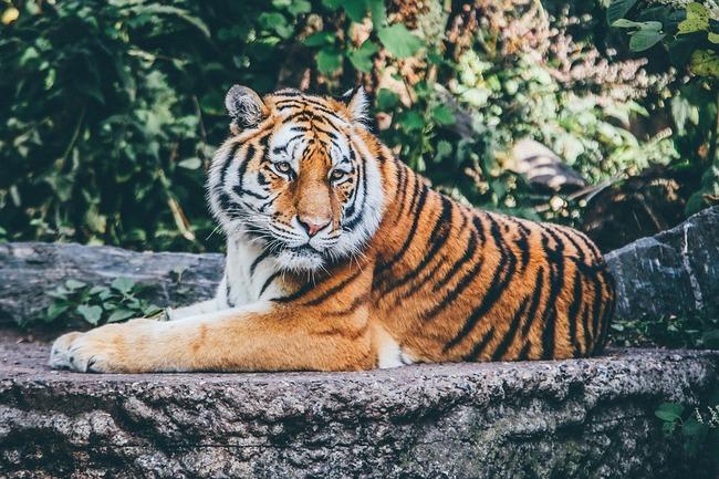 電話「警察ですか。ここに虎がいるんです!」 警察「あ? クスリキメてんのか?」 電話「はい」→