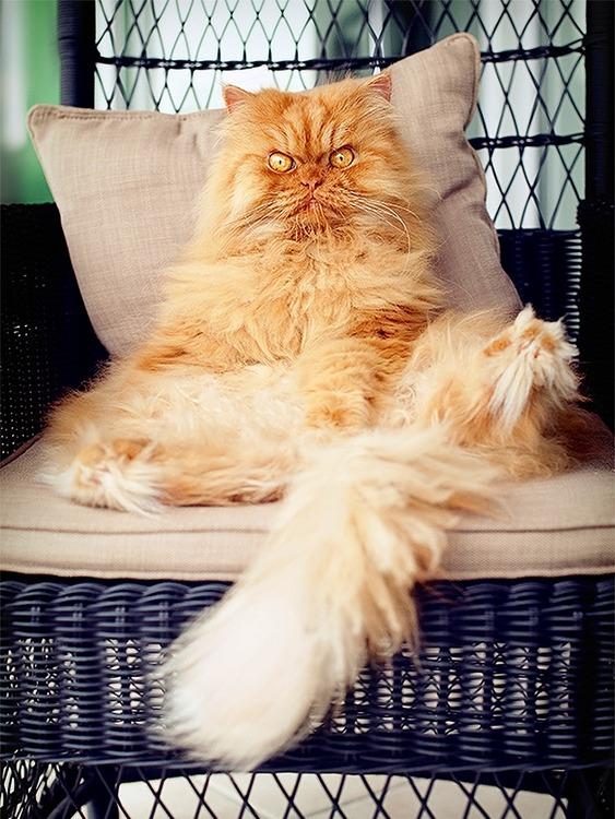 a2014-10-6garfi-evil-grumpy-persian-cat-22__700