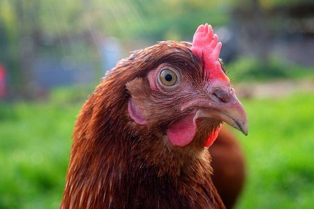 chicken-head-2288234_640