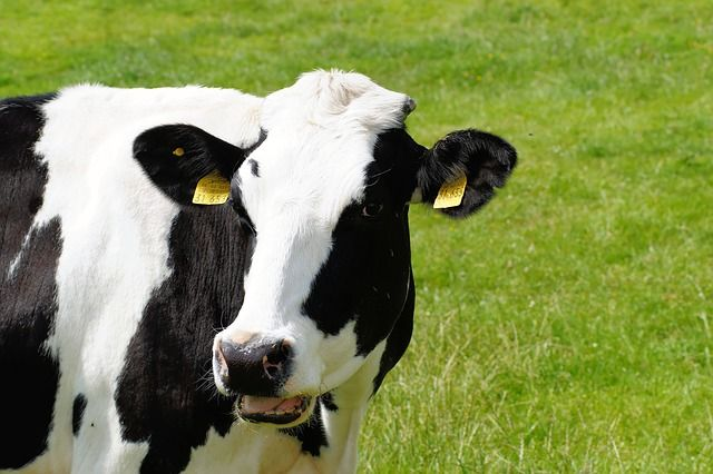 cow-391291_640