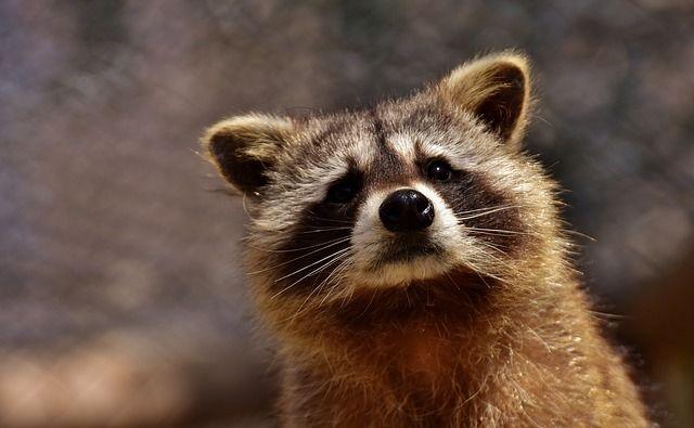 raccoon-2183746_640