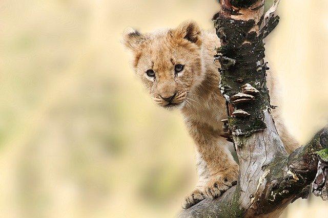 lion-565820_640