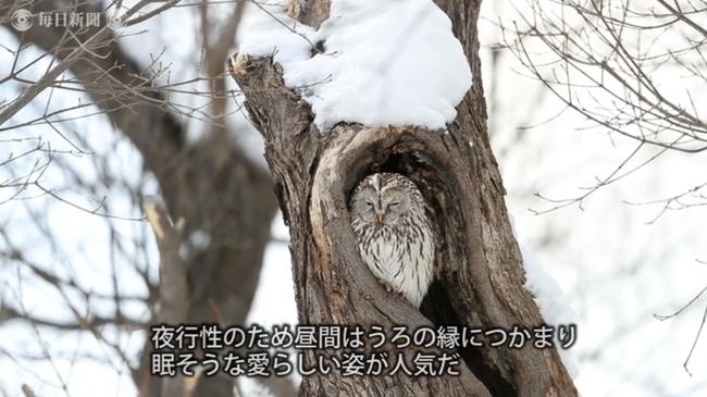 エゾイタヤに野生エゾフクロウ