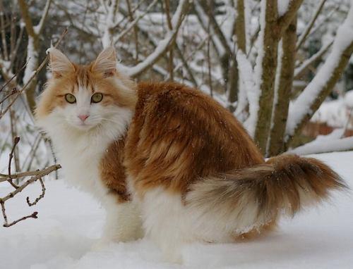 norwegian_forest_cat1
