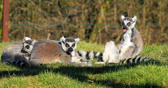 lemur-678197_640