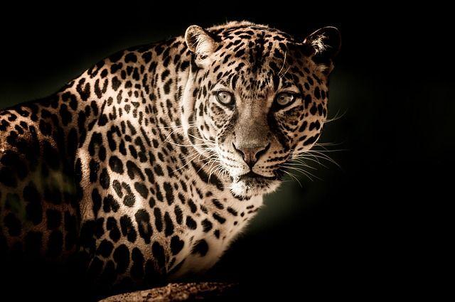 leopard-2895448_640