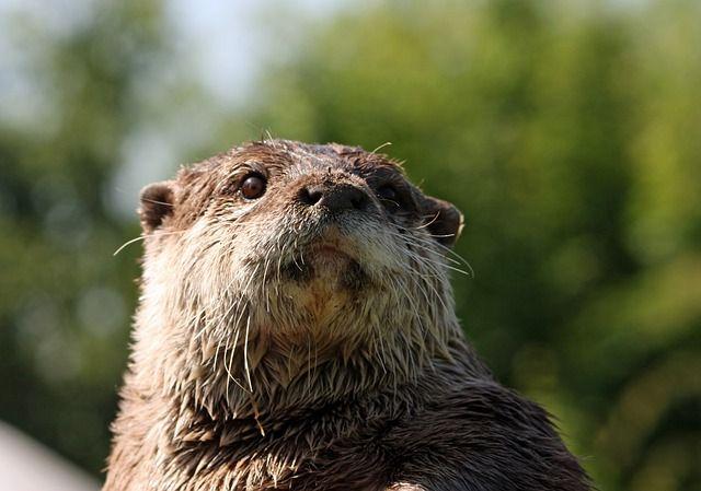 otter-220488_640