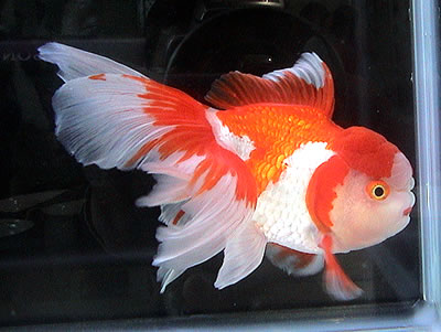 獅子頭 金魚 オランダ
