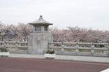 南浅川橋桜