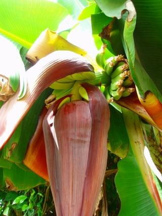 畑のバナナ